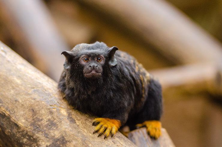 tamarin à mains dorées fiche animaux singes primates animal facts goden handed tamarin