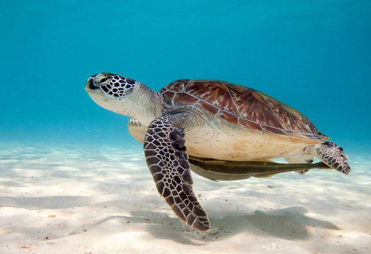 animaux tortue verte fiche reptile ocean