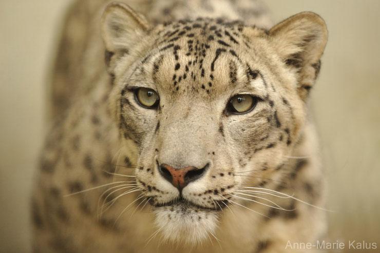 liste des animaux du tibet leopard des neiges panthere