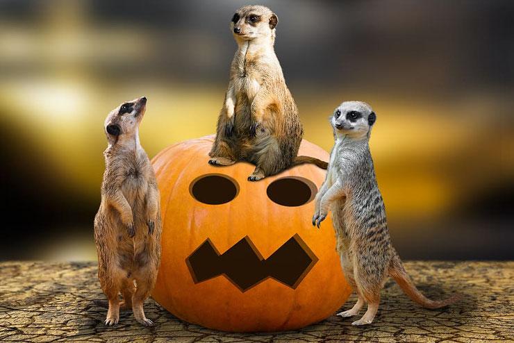 suricate halloween