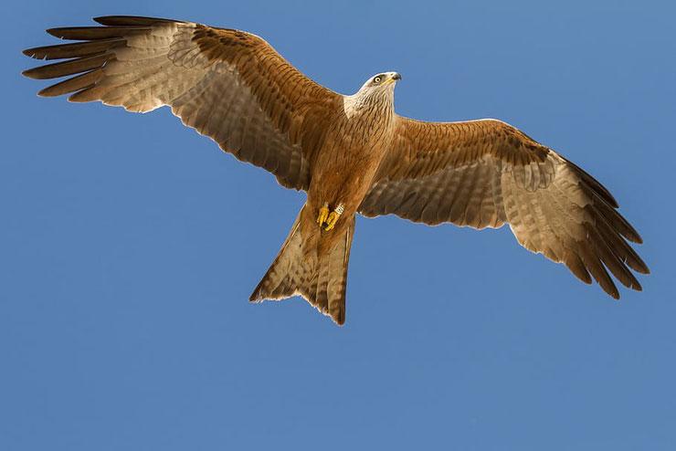 milan royal en vol fiche oiseaux animaux