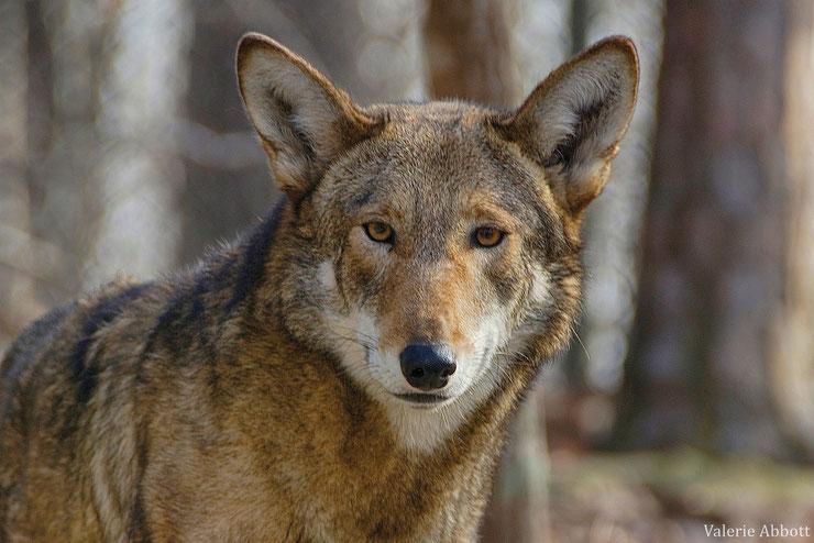 loup rouge portrait fiche animaux pegagogie caroline du nord etats unis red wolf animal fact