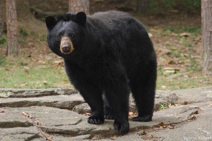 animaux baribal ours noir  taille poids  comportement habitat distribution alimentation reproduction