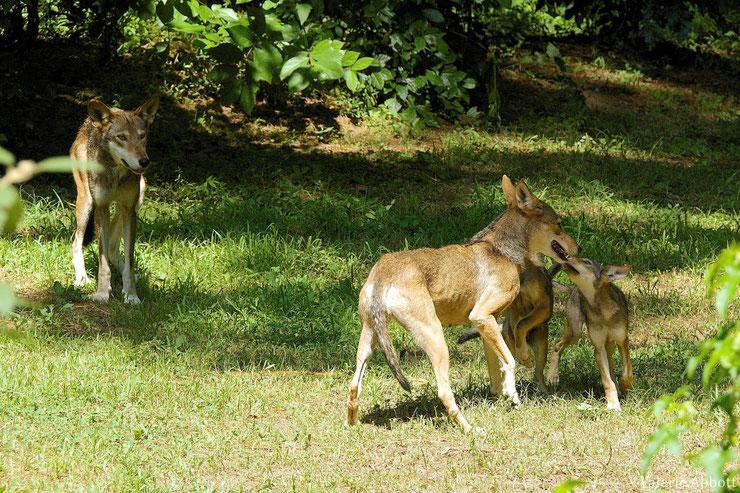 loup rouge en train de jouer fiche animaux canides