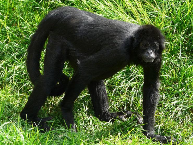animaux noirs atele de colombie thematique
