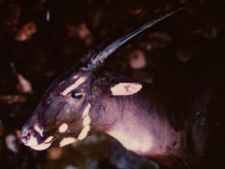 saola fiche animaux bovides animal facts