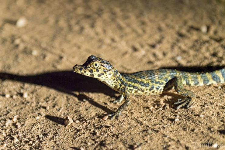 bebe caiman cute mignon baby animals reptiles