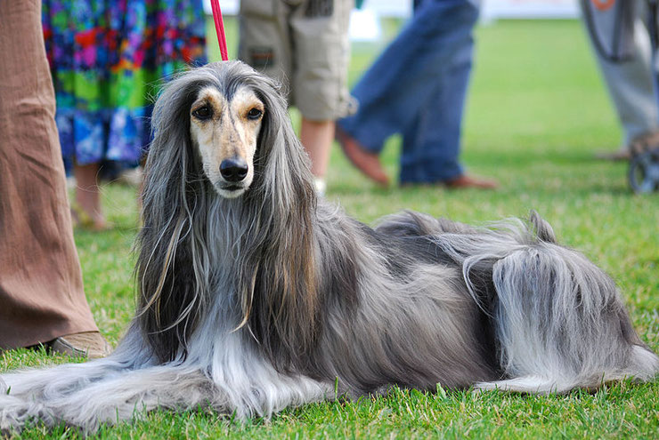 levrier afghan fiche chien animaux caractere comportement origine sante egypte ancienne race