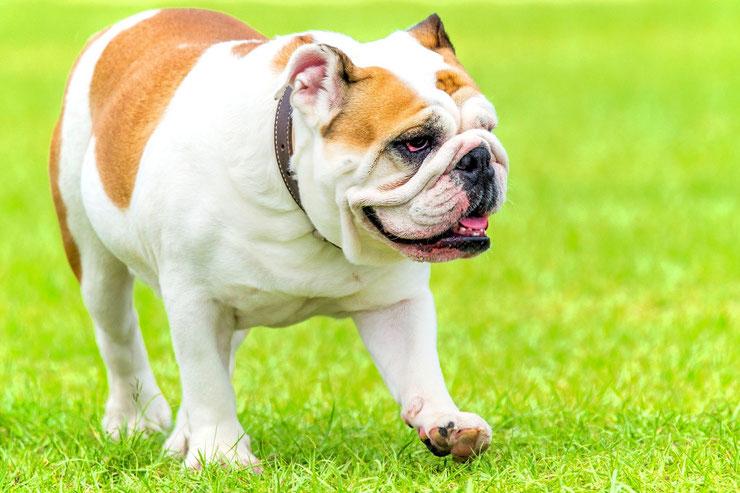 comportement du bouledogue anglais bulldog fiche chien