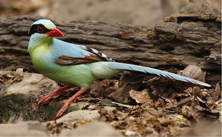 fiche animaux oiseaux pirolle verte