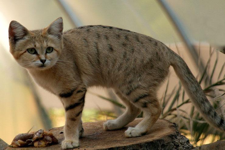 chat des sables fiches animaux felins