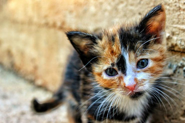 portrait chaton ecaille de tortue mignon bebe chat tricolore