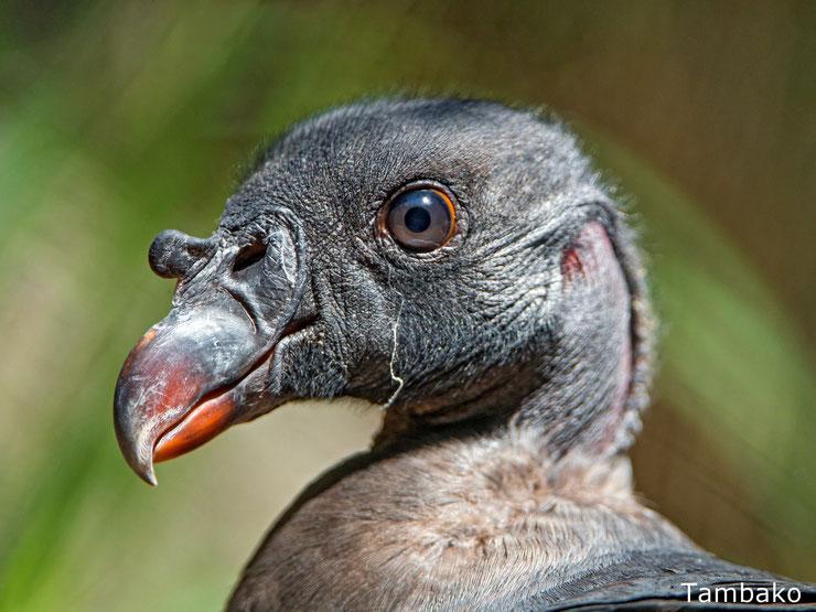 bebe vautour pape animaux oiseaux bird baby cute king vulture animals