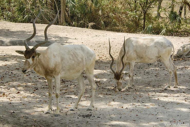 les antilopes d'Afrique Addax fiches animaux thematique habitat repartition poids taille alimentation reproduction