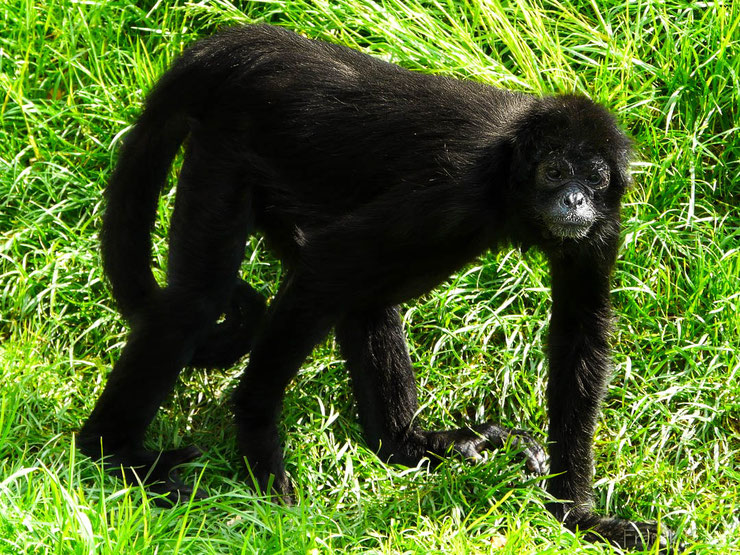 atele noir de colombie singe araignee amerique du sud primate