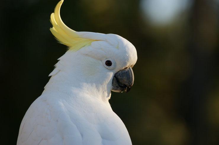 cacatoes à huppe jaune fiche identification oiseaux  animaux d'australie perroquet