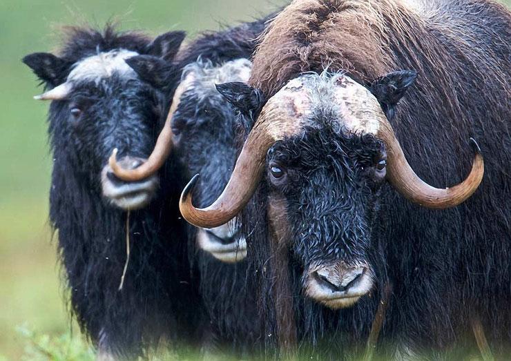 animaux canada quebec boeuf musque musk ox