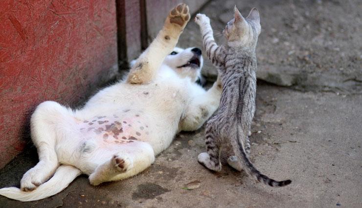 chat et chien qui jouent ensemble amitie complicité