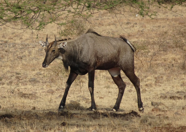 antilope nilgaut fiche animal animaux sauvages facts nilgai asie