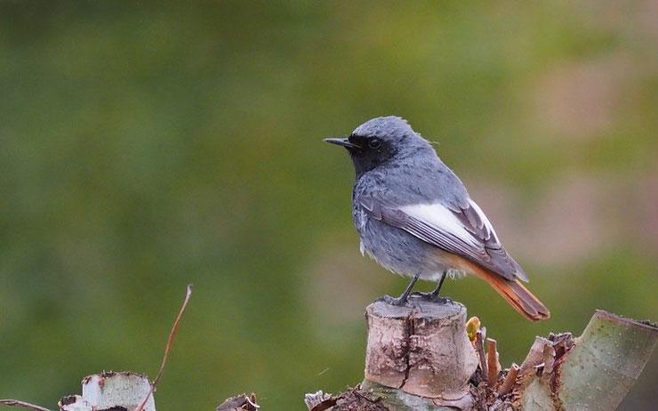 les oiseaux de nos jardins - le rouge queue noir