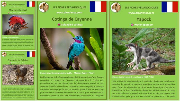 fiche animaux meconnus à telecharger et a imprimer pdf habitat taille poids reproduction alimentation : le yapock, le cotinga de Cayenne, le chevrotin de Balabac et le moucher