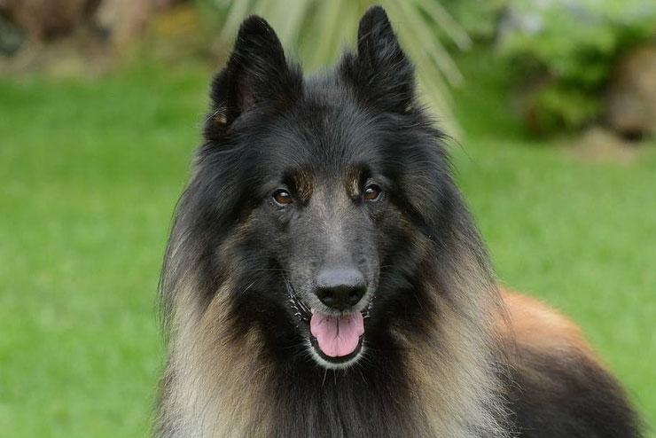 tervueren berger belge fiche chien animaux de compagnie caractere portrait origine