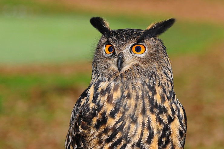 hibou grand duc eurasian eagle owl buto buto oiseaux bird poids taille habitat distribution