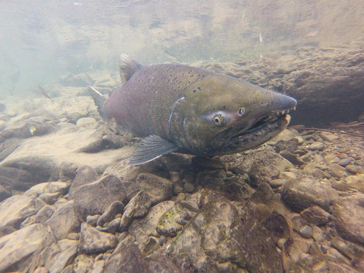 quinnat saumon royal chinook fiche poisson amerique du nord russie animaux