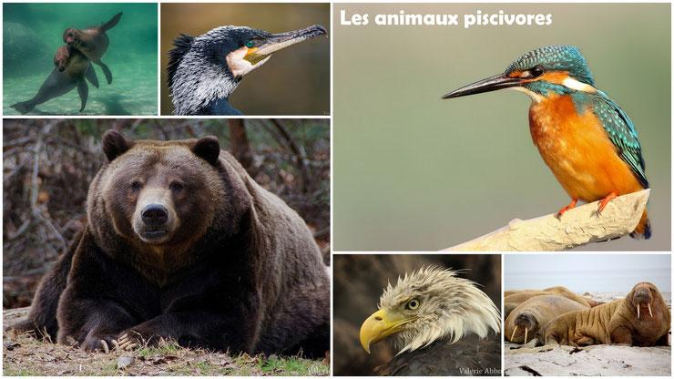 les animaux piscivores regime alimentaire cours svt programme primaire cm1 cm1 ecole college pedagogie