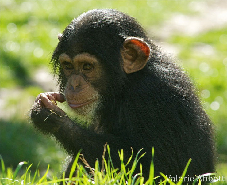 animaux noirs singe chimpanze bebe mignon cute thematique