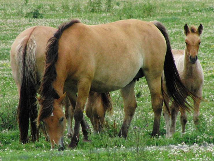 cheval henson fiche chevaux comportement origine caractere