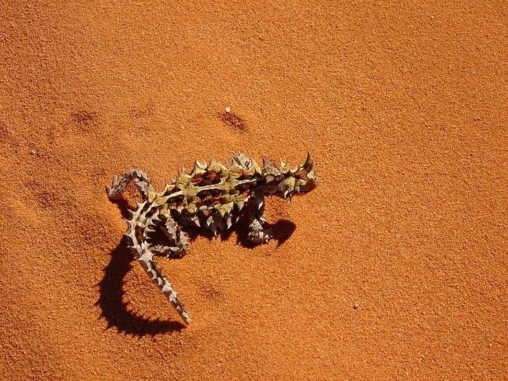 diable cornu moloch fiche reptile animaux