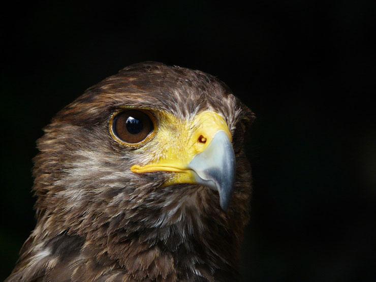 fiche animaux oiseaux rapace aigle royal