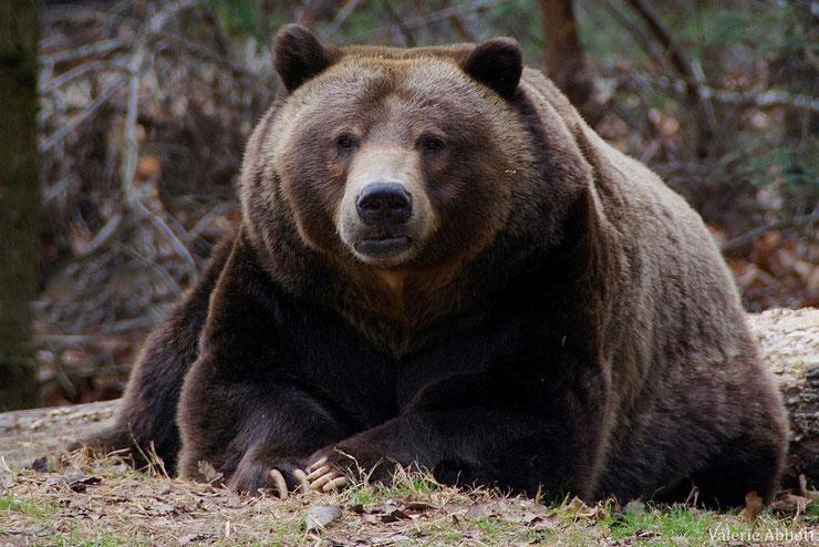 liste des animaux qui hibernent ours brun hibernation