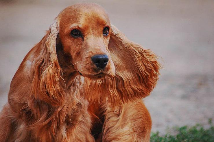 tous les informations sur le cocker spagniel anglais comportement caractere origine fiche chien