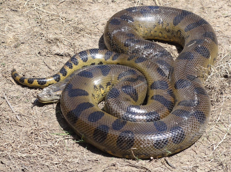 serpent animaux anaconda  taille poids alimentation reproduction habitat distribution