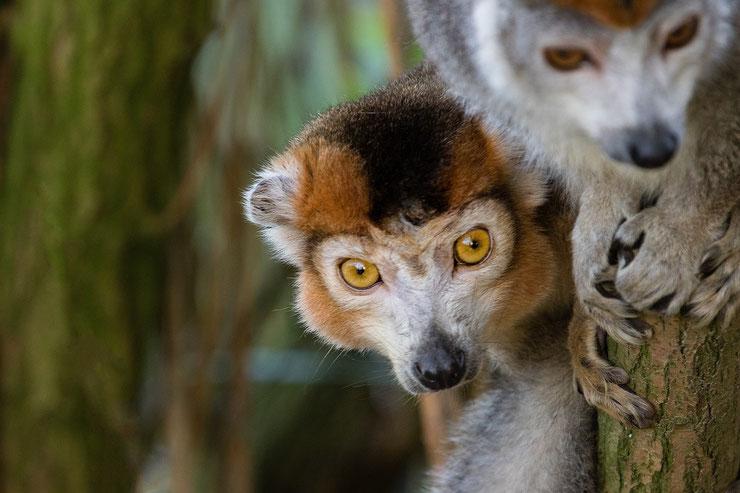 lemur couronnée eulemur coronatus fiche animaux de madagascar