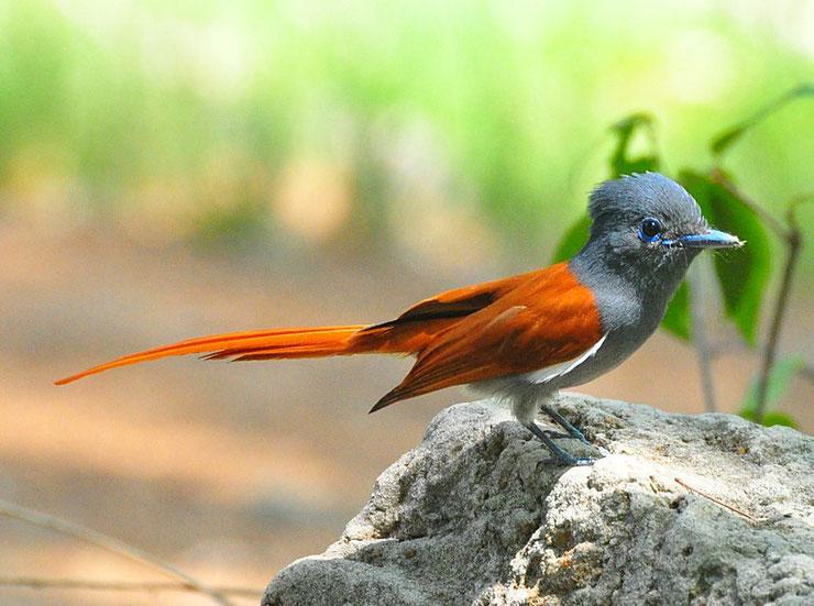 tchitrec du paradis fiche oiseaux indian paradise flycatcher