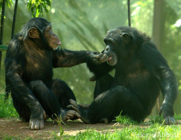 animaux singes afrique chimpanze
