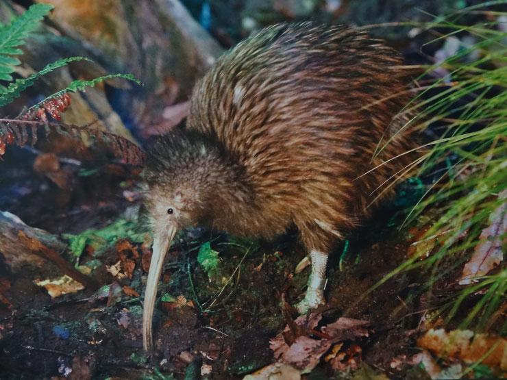 kiwi austral fiche oiseaux animaux