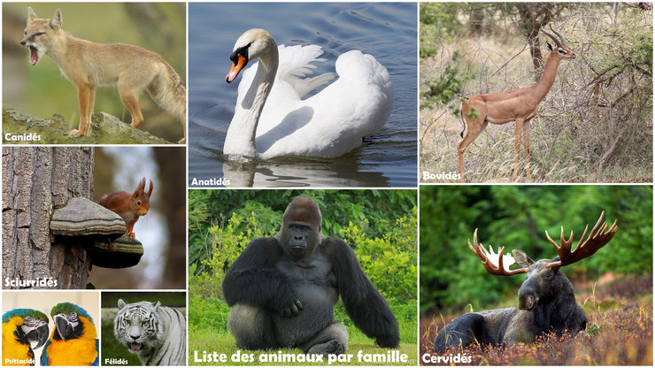 liste animaux par famille felides canides cervides ursides hominides suides bovides mustelides