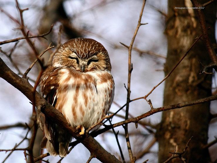 nyctale de tengmalm fiche oiseaux animaux