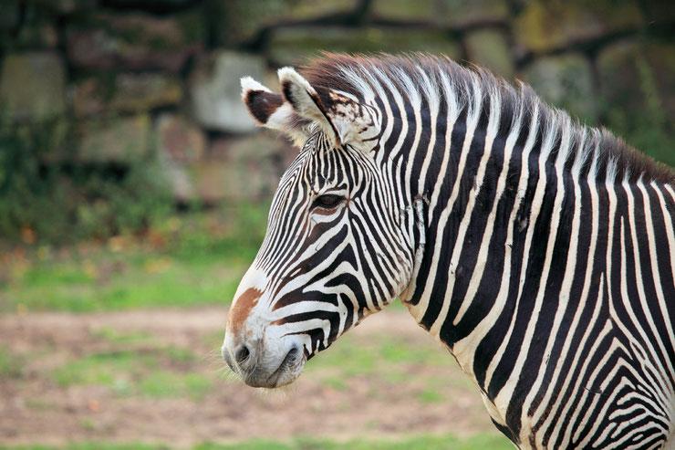 zebre de grevy portrait animaux afrique à rayures