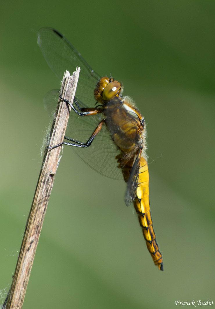 libellula depressa libellule depressive insectes fiche