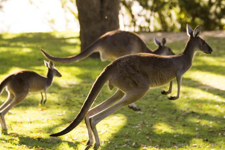 kangourou roux liste des marsupiaux