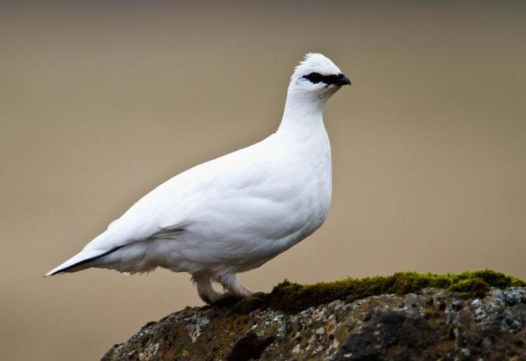 lagopede alpin fiche oiseaux animaux montagne