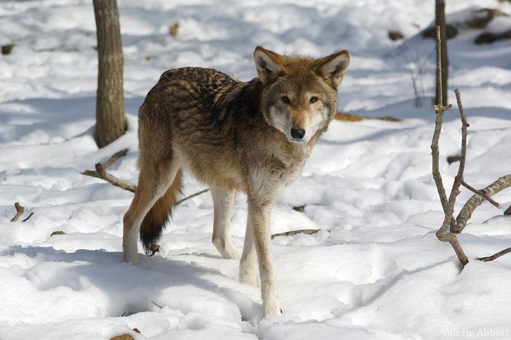 loup rouge fiche animaux animal fact red wolf carolina taille poids habitat distribution longevite