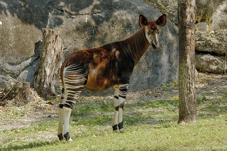 okapi fiche animaux afrique animals fact african okapia