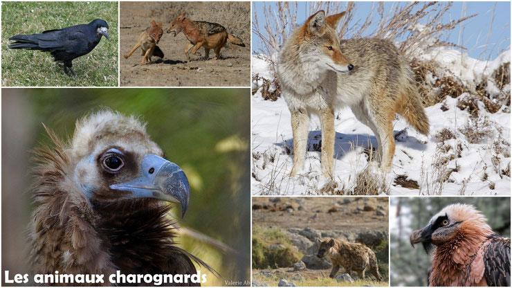 liste animaux charognards vautour coyote corbeau gypaete chacal hyene