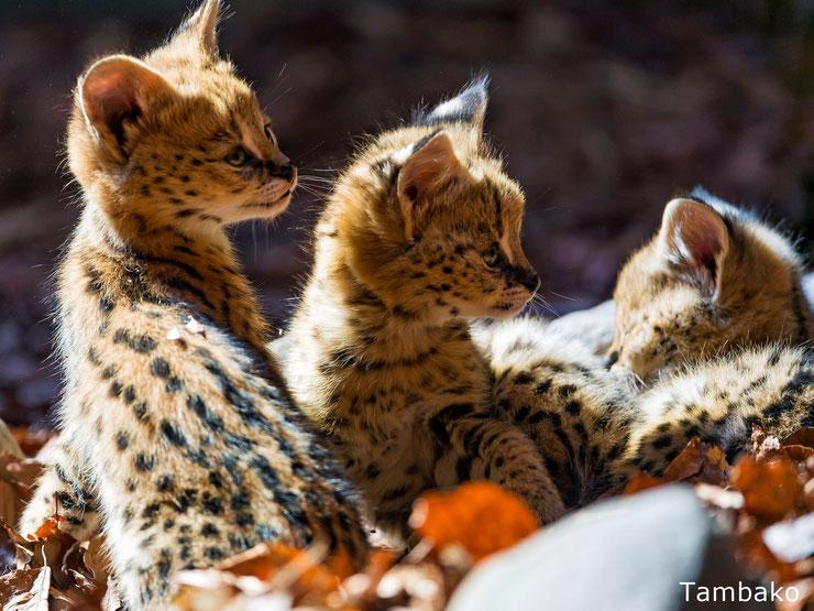 bebe serval felins animaux mignons cute cub animals